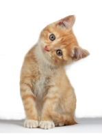 ccee6ab8220709696529dfd16646873a--ginger-kitten-ginger-cats (1)