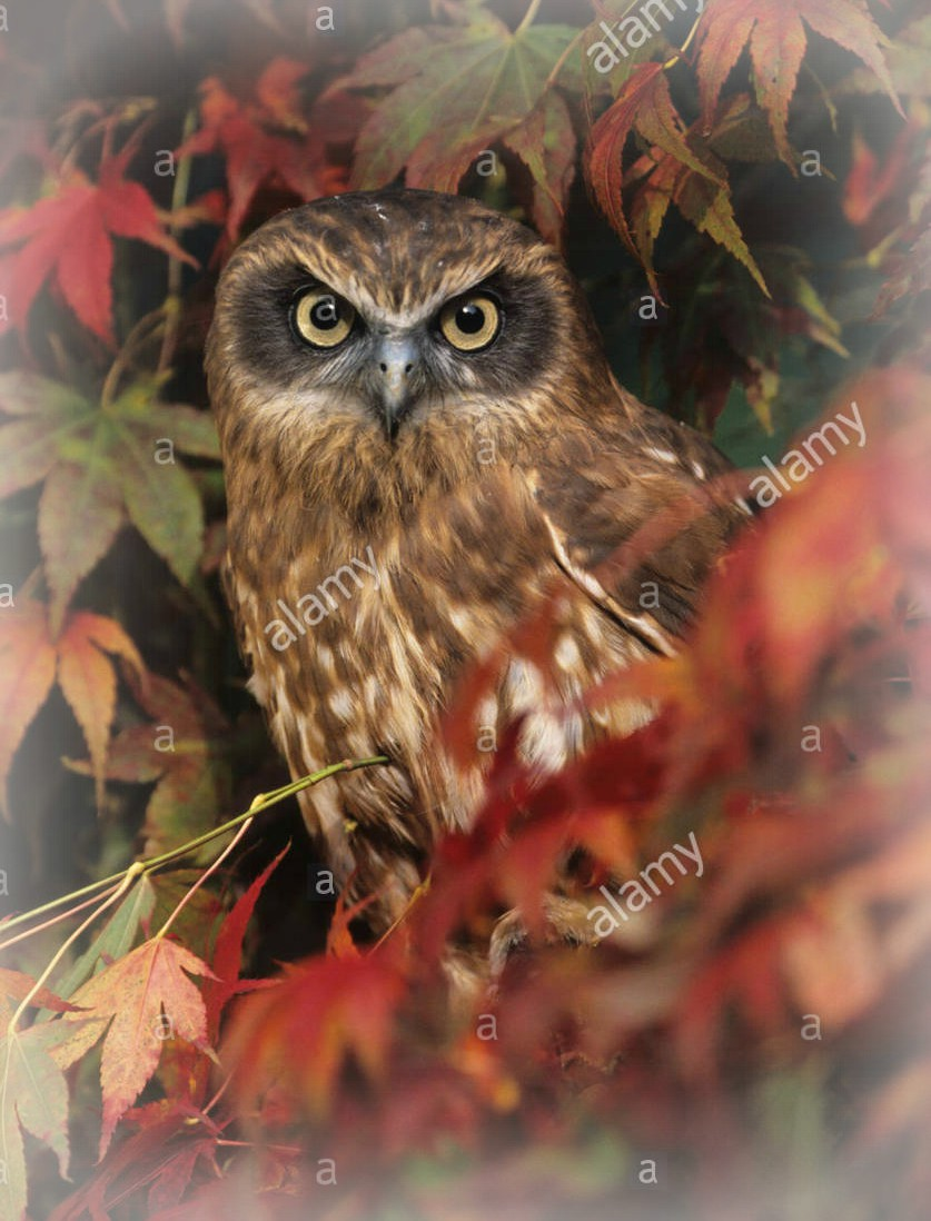 boobook-owl-taken-from-front-perched-in-red-and-yellow-autumnal-leaves-F0744B
